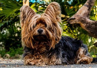 yorkshire terrier pixabay dog puppy