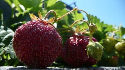 strawberries-18938_640.jpg