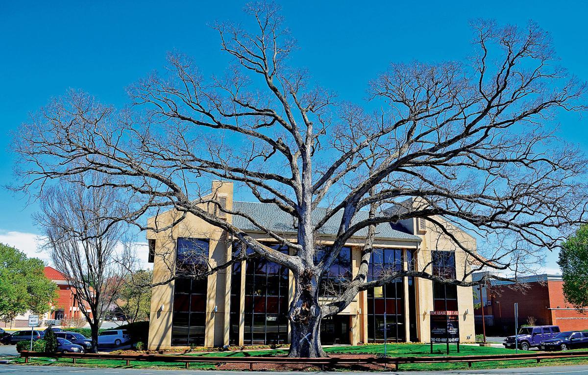 Massive oak tree 1