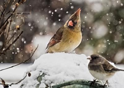 Cardinal Bird Winter Pixabay