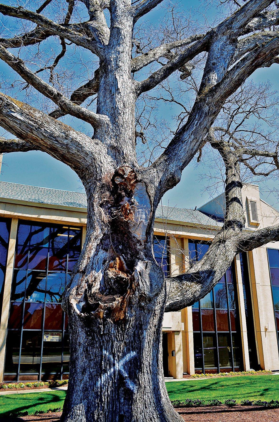 Massive oak tree 2