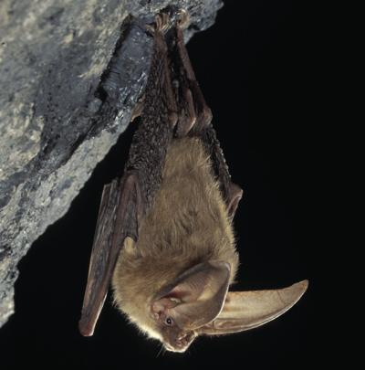 virginia-big-eared-bat.jpg