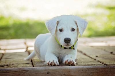Puppy dog pets pixabay