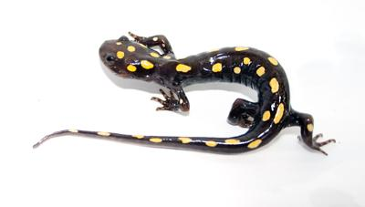 WILD IDEAS: Spotted salamanders get busy breeding