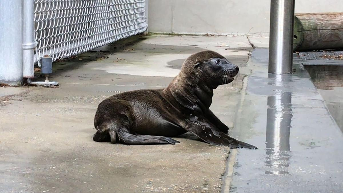 New sea lion pup, courtesy National Zoo