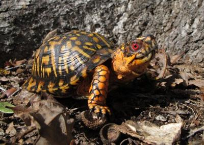Box-Turtle...J.D.-Kleopfer-1-696x494.jpg