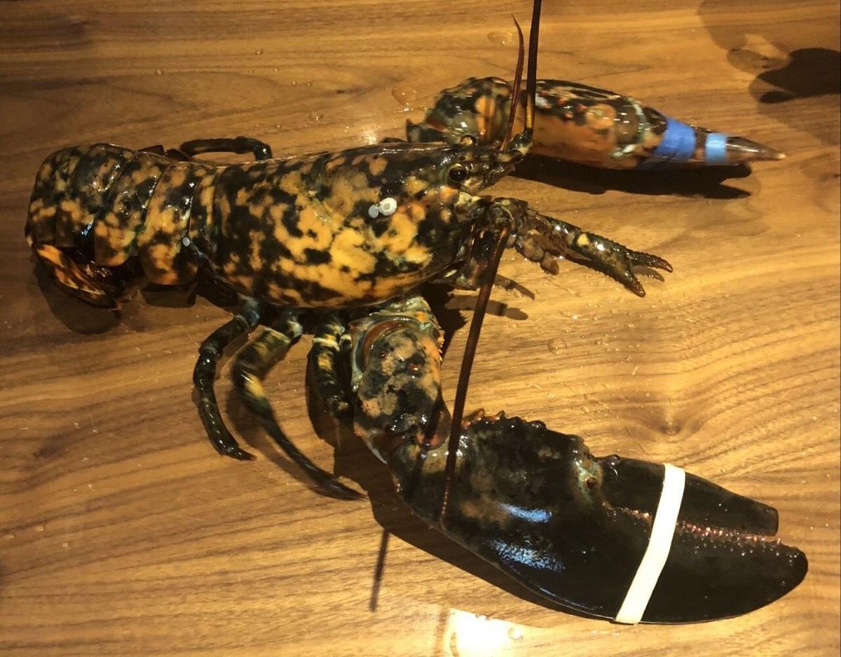 Calico Lobster.JPG