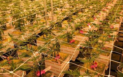 Mint_Marijuana-800x500-1.jpg