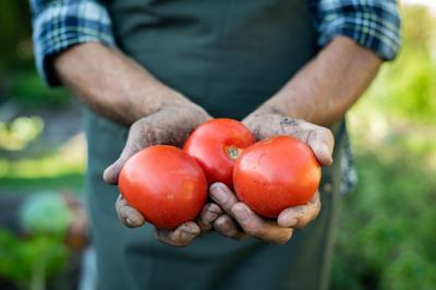 Farmer hands with freshly harvested tomatoes. Closeup dirty old hands holding three red juicy tomato
