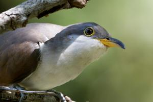 Feds to reconsider yellow-billed cuckoo's threatened species status