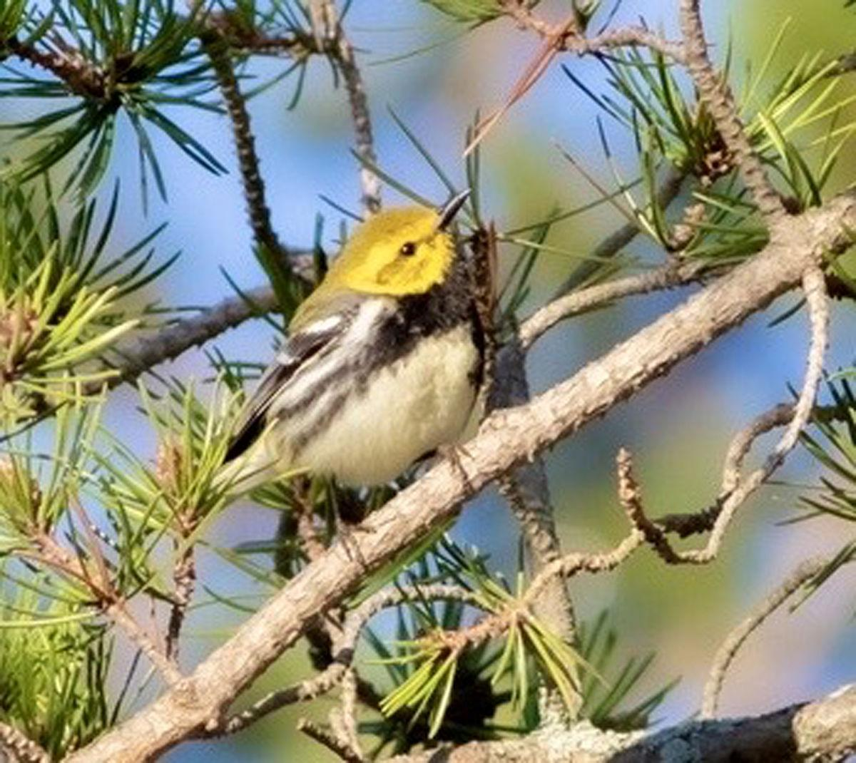 Bird1-BlackThroatedGreenWarbler-color.jpg