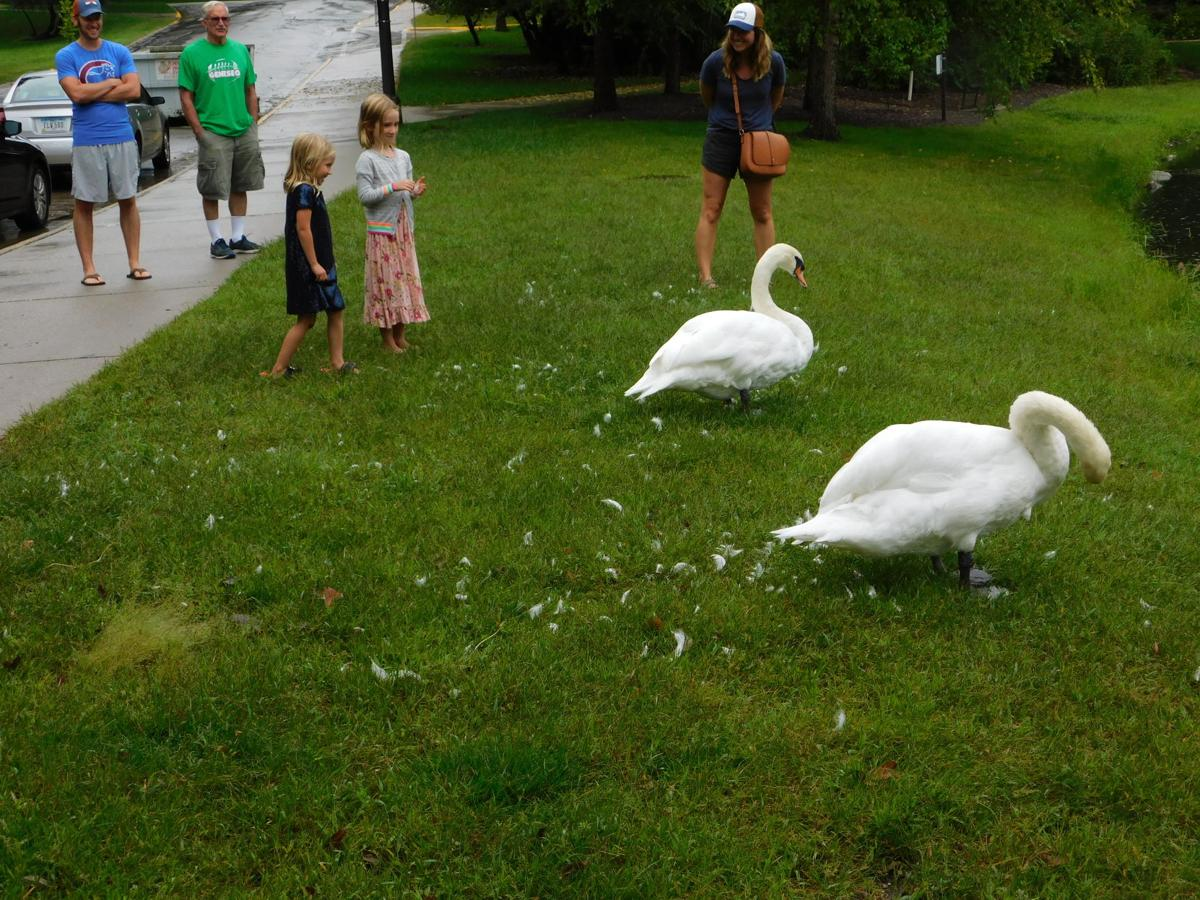 When It Rains It Swans >> Photos Heavy Rains Hit Ames Multimedia Iowastatedaily Com