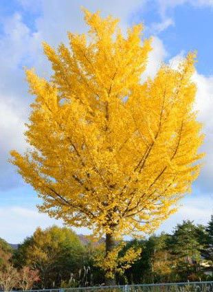 Ginkgo trees: a better choice  for the home landscape