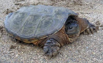 DNR asks motorists to 'give turtles a brake'