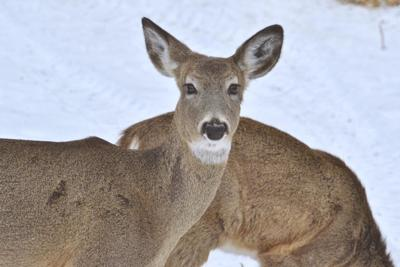 Winter could be shaping up to be hard on deer