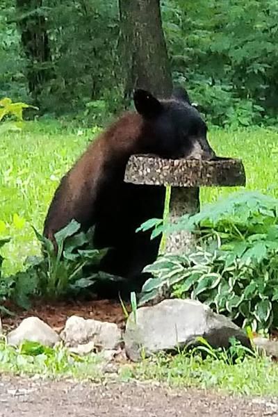 Bears and birdfeeders: a recipe for conflict