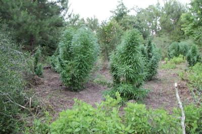 Sheriff's Office: Marijuana growths an escalating problem