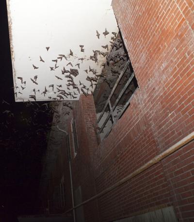 City Tdcj Tackle Bat Colony Relocation