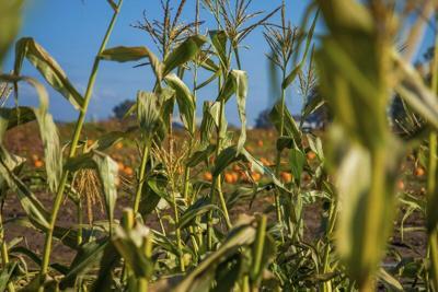 Texas corn crop up despite fewer acres and spotty rain