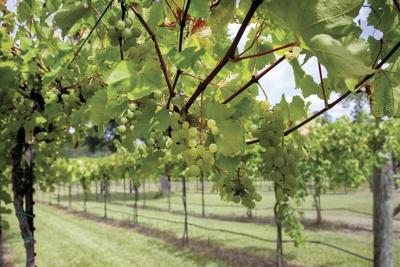 Texas vineyards resilient despite tough 2020