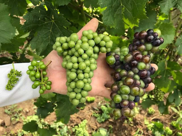 Kemmeter wine grapes