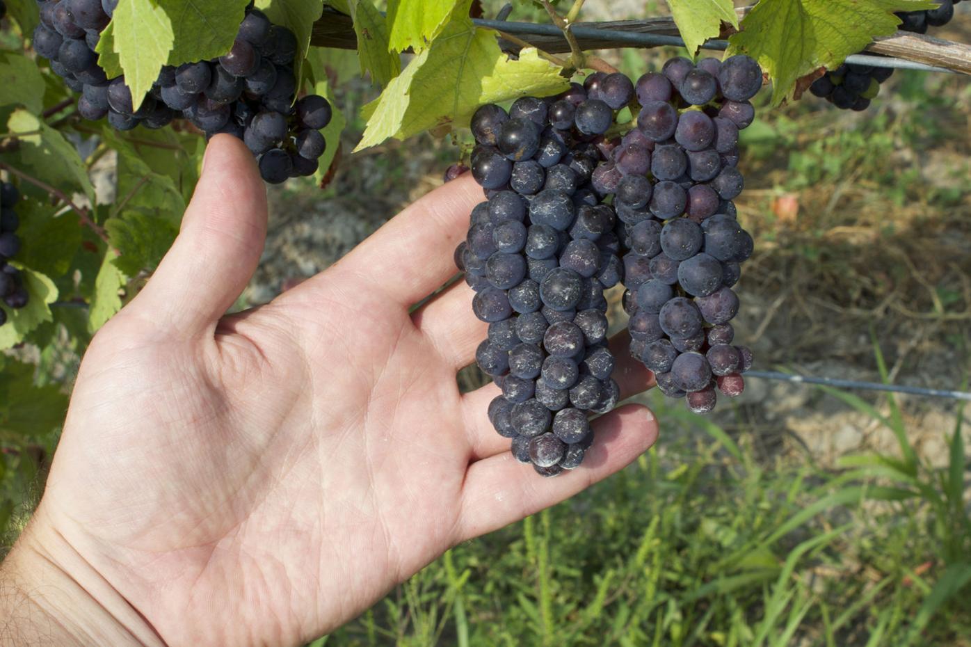 Pinot Noir bunches