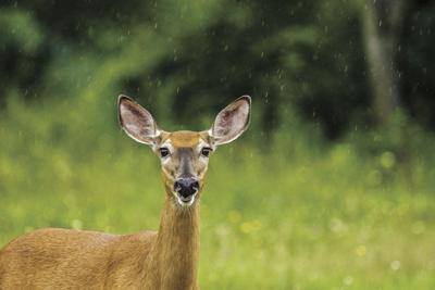 A female white-tailed deer like those hunted throughout the region. Lansing recently discussed whether or not to allow bow hunting within the village but has yet to make an official decision.