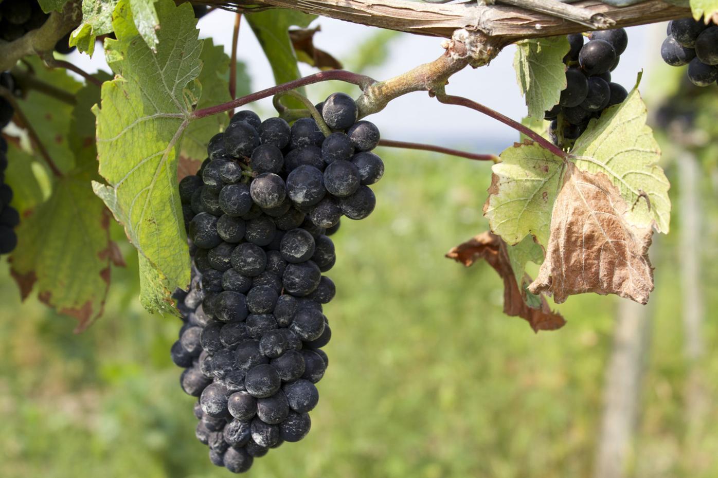 The birth of wine