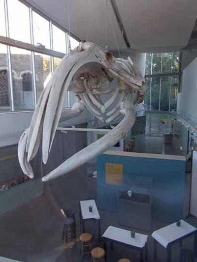 Right whale at Museum of the Earth