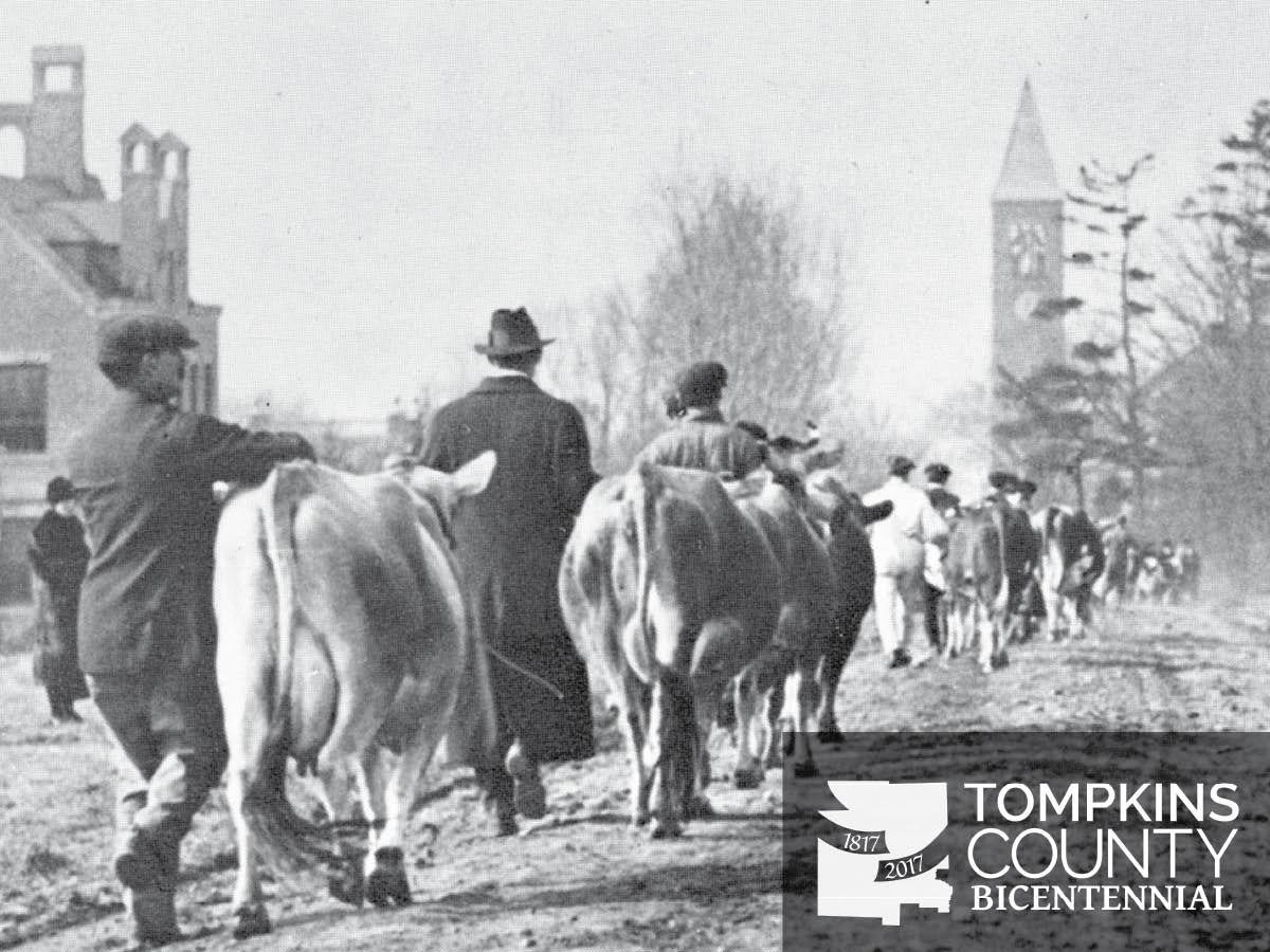 New york tompkins county ithaca 14850 - Cows On Tower Road