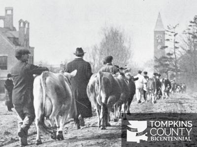 Cows on Tower Road
