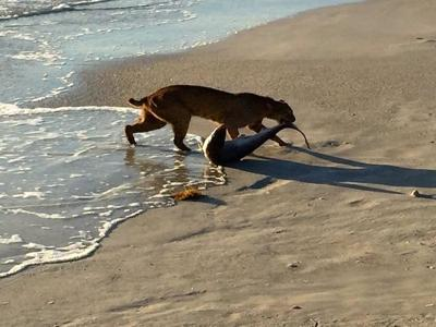 Bobcat kills shark