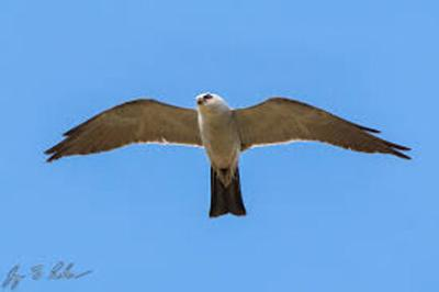 The Mississippi Kite: A summer visitor to East Texas