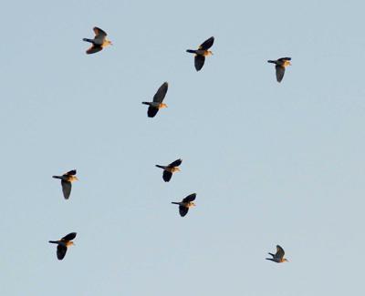 Dove season kicks off Monday