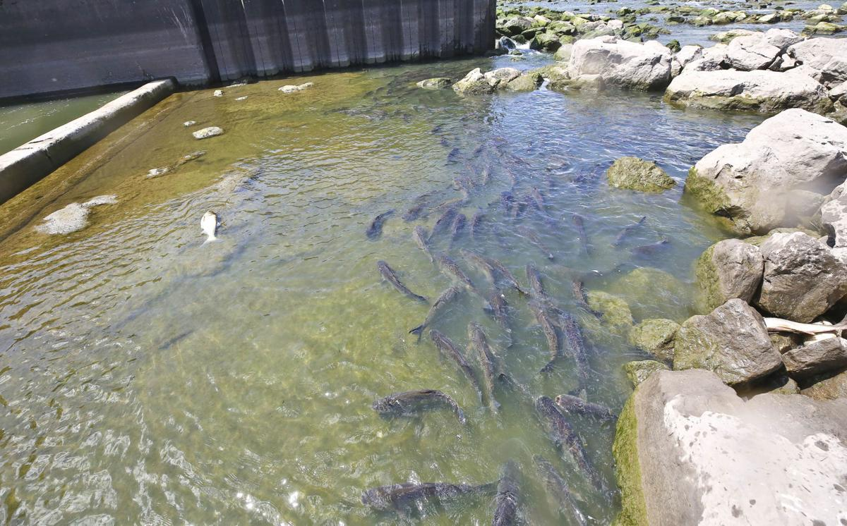 SECONDARY - Asian_Carp 4 7.11.19.JPG