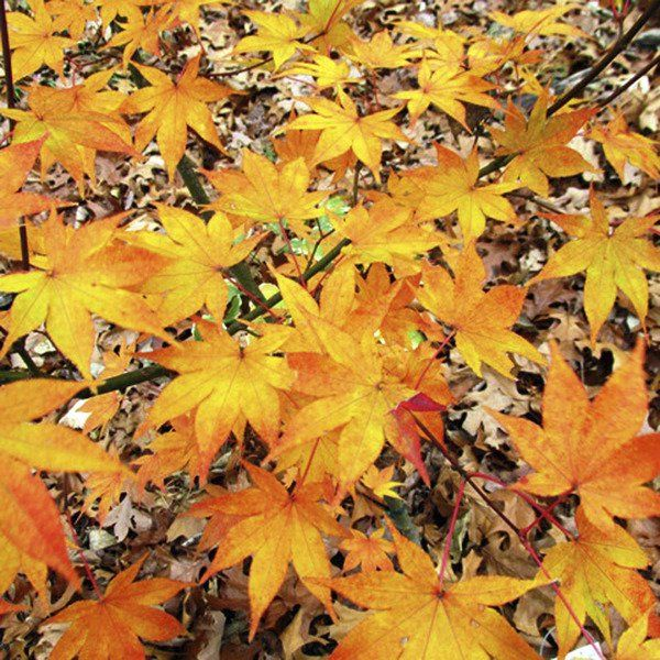 Sandy Parrill Japanese Maples Hold Onto Bright Fall Color