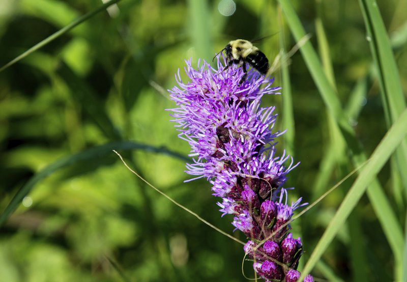 National groups, Liberty-Empire shine spotlight on pollinators