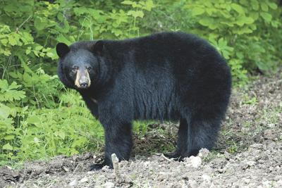 Black bear sightings may increase in southwest Missouri