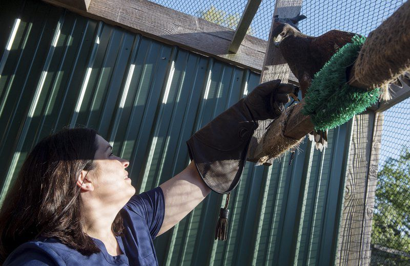 Rescued Harris's hawk to take flight as new animal ambassador at PSU Nature Reach
