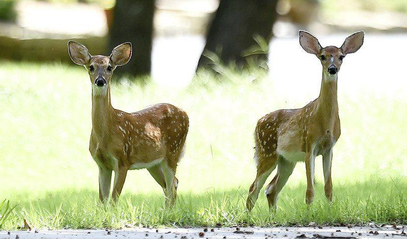 Modern deer season dawned 75 years ago in Missouri