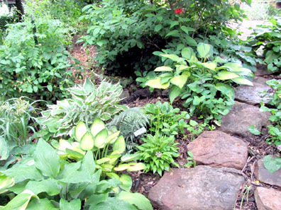 From Classics To Unusual Hostas Offer Variety In The Garden
