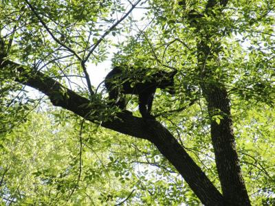 Euthanized black bear had been roaming Joplin area for two weeks