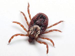 Tick-borne illnesses on the rise