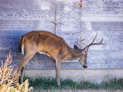 Scientists watch deer disease for species jumps