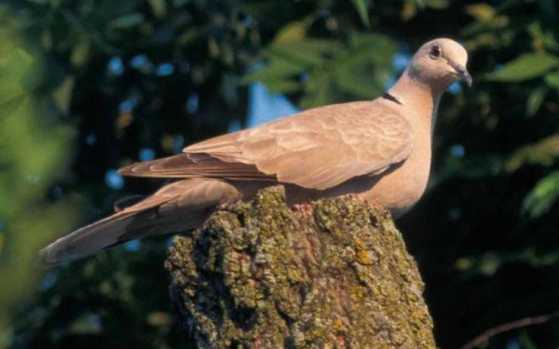 Andy Ostmeyer: Non-toxic shot regulations affect dove hunting on some state lands