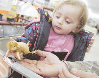 Jurnei Briscoe, 2, of Carl Junction, hands a baby chick over to her father,  Ryan, during a trip to Atwoods on Thursday morning.