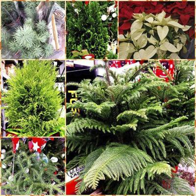 Sandy Parrill: You can keep holiday plants alive