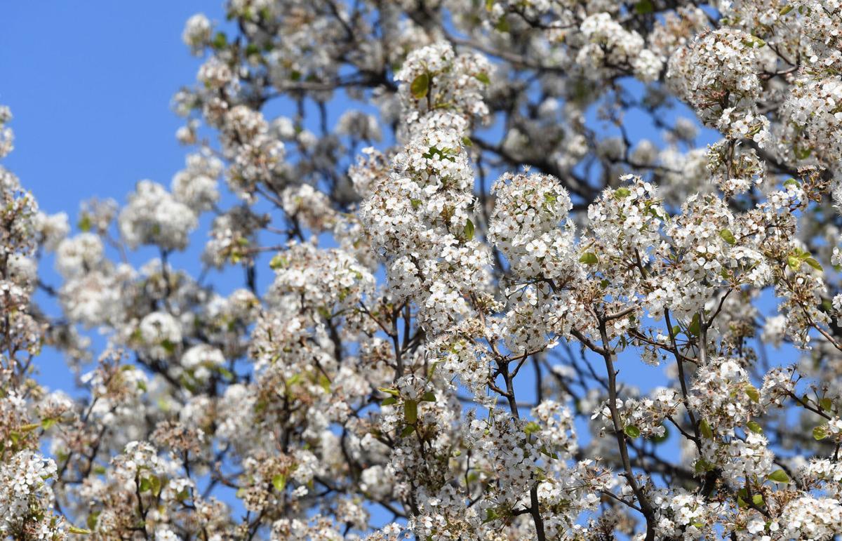 blooming trees3