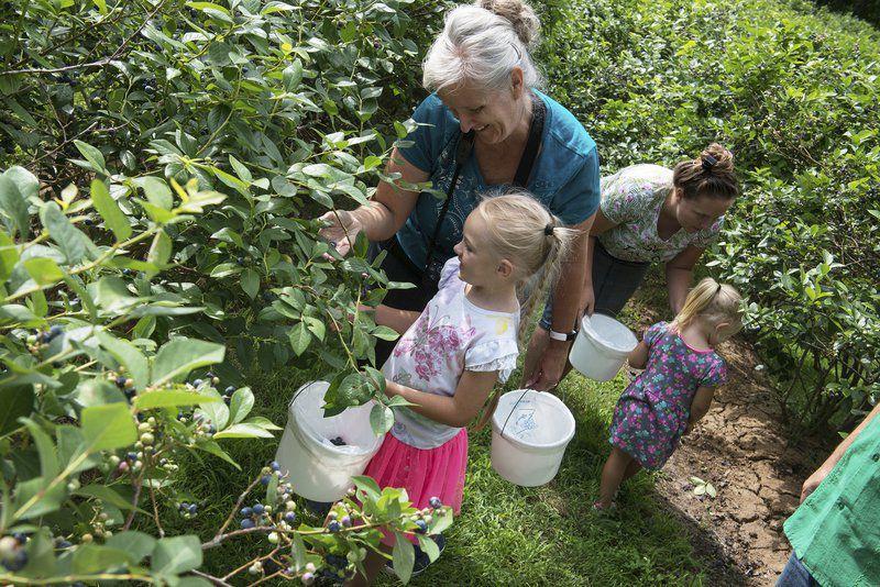 Blueberry farms to open for picking season
