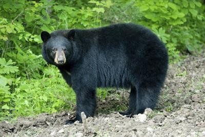 Black bear hunting season in Missouri moves closer to reality